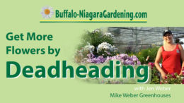 get more flowers by deadheading video