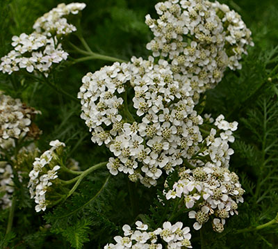 achillea or yarrow deer resistant