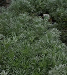 Artemisia Silver Mound in Williamsville