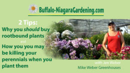 video on buying and planting perennials