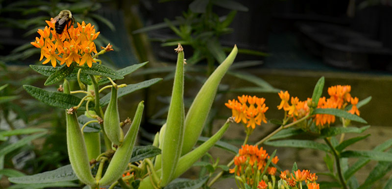 Deer Don T Like The Plant Called Erfly Flower And There Are Many Other Reasons You Should This In Your Garden It Gets Pretty Flowers
