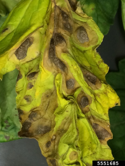 early blight on tomato leaf
