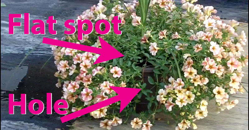 flat spot and hole in petunia