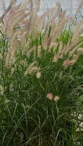 fountain grass in Western New York