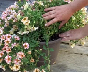 how to water soil of hanging basket