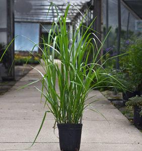 'My Fair Maiden' grass