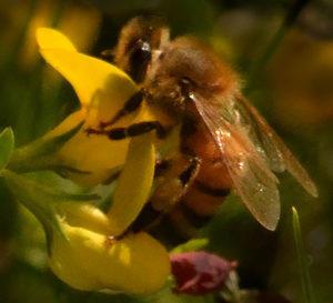 bee on trefoil flower