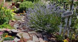 lavender in Niagara Falls garden