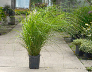 Miscanthus 'Scout' waving in a breeze