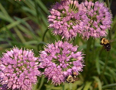 allium flowers with bees in Western New York