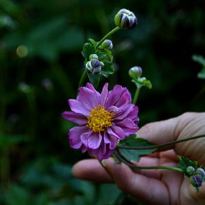 anemone September Charm In Amherst NY