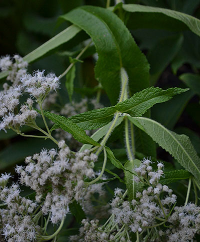 boneset leaves and flowers