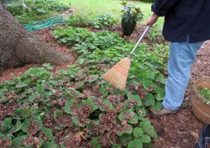 broom leaves on perennial bed in Western New York