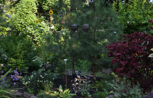 pines in garden in Amherst NY