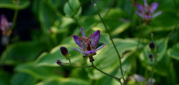 toad lily in Amherst NY