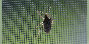 brown marmorated stink bug in Western New York