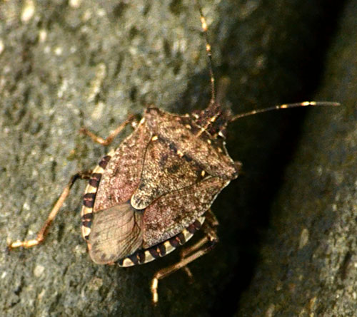 brown marmorated stink bug Buffalo area