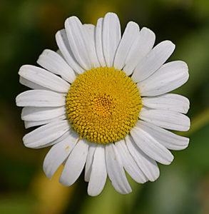 daisy in Western New York garden