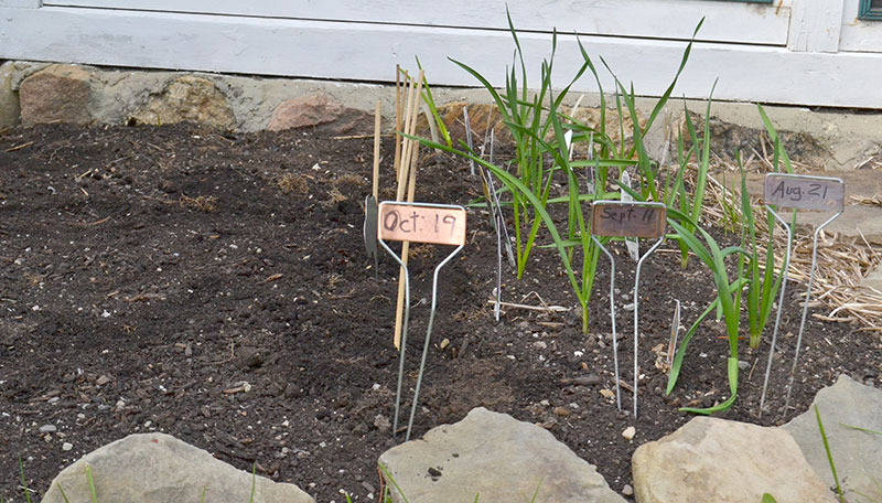 garlic planted in August