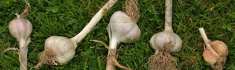 bulbs of garlic in Buffalo