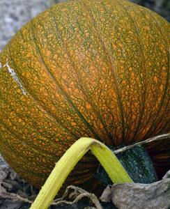 pumpkin turning orange in Amherst NY