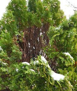 shrub branch bent by snow