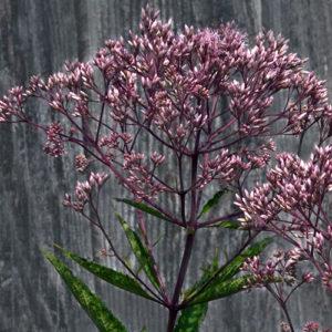 flower on Joe-Pye weed