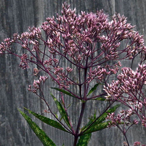 flower on Joe-Pye weed