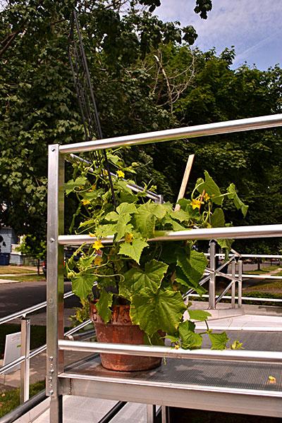 cucumber plants on wheelchair ramp