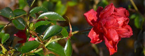 red rose in early winter garden in Western New York