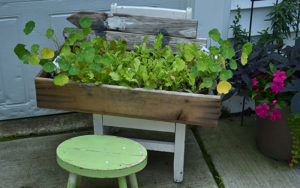 lettuce plants in box on chair in Hamburg NY