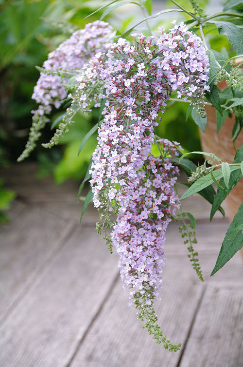 Buddleia Wisteria Lane