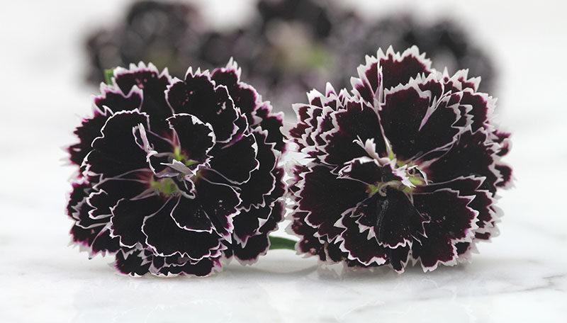 Dianthus-chinensis-heddewigii