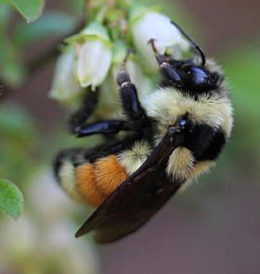 tri-colored bumble bee