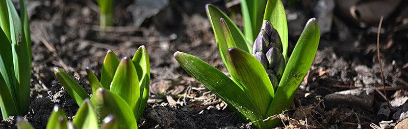 hyacinth bud in spring in Western New York