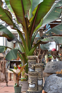 red banana plant Ensete Maurelii