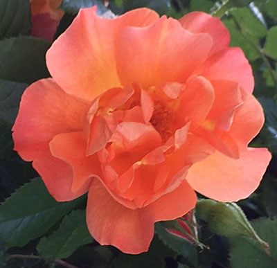 closeup of Westerland rose