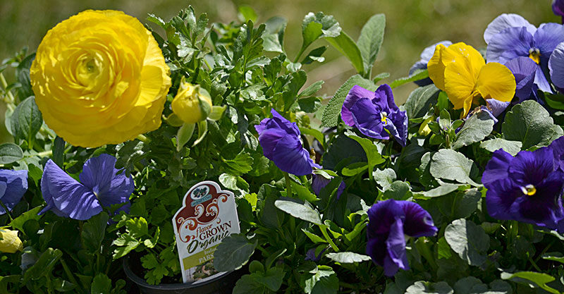 petunias, ranunculus and other cool-weather plants