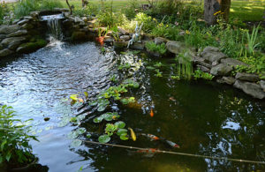pond with fish in Amherst NY