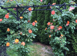 rose climbing on trellis