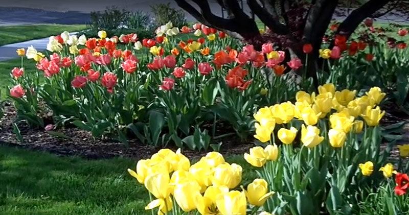tulip garden in Cheektowaga NY