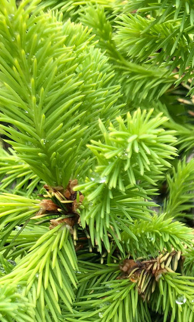 Norway spruce 'Lemonade'