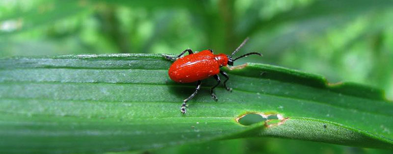red lily leaf beetle by