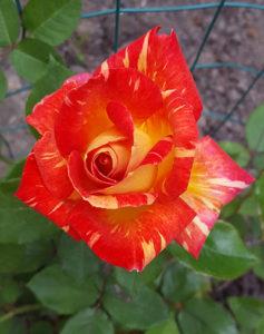 'Harry Wheatcroft' Hybrid Tea Rose