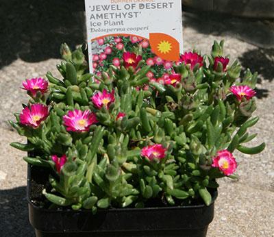 Ice plant Jewel of the Desert