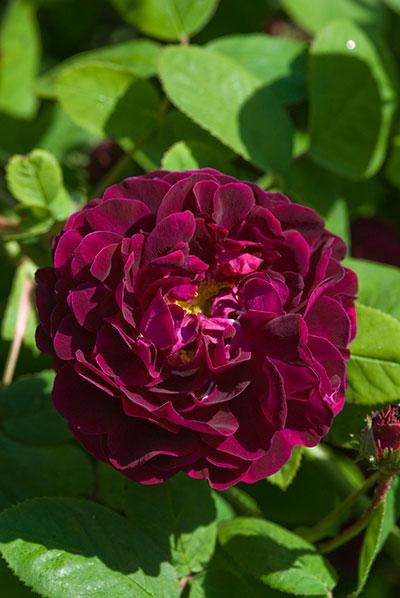 Old Rose 'Tuscany Superb'