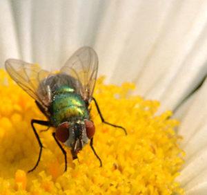 fly on daisy