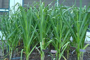 garlic plants with scapes