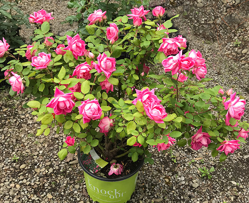 Roses In Garden: Pink-knock-out-roses-courtesy-Bonnie-Vitale