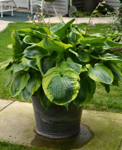 Hosta 'Sum of All'